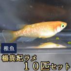メダカ / 楊貴妃ラメみゆき(幹之)めだか 未選別 稚魚 SS-Sサイズ 10匹セット