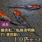 メダカ / 楊貴妃三色錦透明鱗めだかF1 10匹セット / 三色透明鱗メダカ