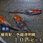 メダカ / 楊貴妃三色錦透明鱗めだか 稚魚 SS-Sサイズ 10匹セット / 三色透明鱗メダカ タイムセール
