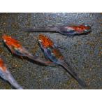 メダカ / 楊貴妃三色錦透明鱗めだか 稚魚 SS-Sサイズ 30匹セット / 三色透明鱗メダカ 限定大特価