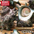 さざえ 殻付き 産直 白神サザエ 10個入り 栄螺 殻つき 刺身用