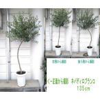 オリーブの木・8号鉢130〜140cm(品種:ミッション・レッチーノ・ネバディロブランコ・マンザニロ)庭木・植木・シンボルツリー・1m