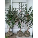 品種を選択『フェイジョア6号ポット』根元から高80〜100cm[果樹/植木/庭木/シンボルツリー]