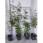 品種を選択『フェイジョア4〜5号ポット』根元から高50〜60cm[果樹 / 植木 / 庭木 / シンボルツリー]
