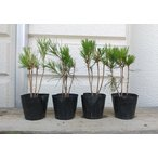 赤松2年生苗6〜8本植え(3号ポット苗)根本から高さ15〜22cm