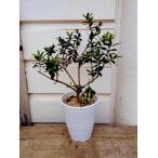 ☆小さなオリーブの木・陶器植え    鉢底から高さ50~60cm