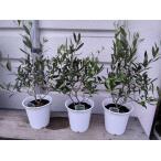 小さいオリーブの苗木4〜5号鉢植え(40〜60cm)