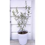 スタンダード仕立て・オリーブの木5,5〜6号白陶器鉢植え60〜70cm