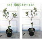 【品種選択】小さなオリーブの木(2級)4〜5号鉢植え苗木(50〜60cm)