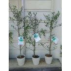 【品種・ヨーロピアーナ】 オリーブの木5号苗木(80〜90cm)現品売り
