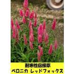 耐寒性宿根草 ベロニカ レッドフォックス