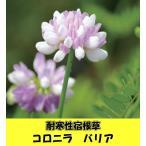 耐寒性宿根草 コロニラ バリア(クラウンベッチ)(ツルレンゲ)