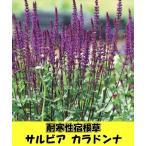耐寒性宿根草 サルビア ネモローサ カラドンナ