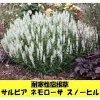耐寒性宿根草 サルビア ネモローサ スノーヒル