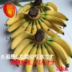 【発送7〜10月】 お試し用 沖縄の三尺バナナ約1kg