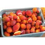 送料無料 沖縄県産 ミニマンゴー 約5kg 発送時期7月〜8月中旬