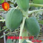 木瓜 - 沖縄県産青パパイヤ約20kg  【夏季はチルド便でお届けします。】 青パパイヤは栄養価が高く健康維持に大切な酵素を豊富に含んでいます。