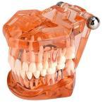 2021年の新年のプロモーション歯の模型、歯の変性のための1個の歯の歯の歯の模型実演研究、オレンジ