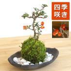 年に数回可憐な花が楽しめます【紅長寿梅(ベニチョウジュバイ)の苔玉・炭化焼締器・敷石セット】