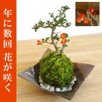 年に数回可憐な花が楽しめます【紅長寿梅(ベニチョウジュバイ)の苔玉・焼締茶器・敷石セット】