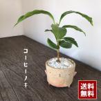 盆栽 コーヒーノキ【観葉盆栽(鉢 真山茜)】一年中葉が楽しめる カジュアルな盆栽 陶芸作家 コーヒーの木