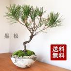 盆栽 黒松 刷毛目鉢 クロマツ 男松 曲付き 笠間 オリジナル鉢