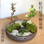 年に数回可憐な花が楽しめます【紅白長寿梅の寄せ植え盆栽(信楽焼鉢)】