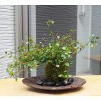 小さな葉がたくさん!華やかな苔玉【ワイアープランツの苔玉・くらま岩器セット】