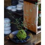 メルヘンの木としても知られている個性的な植物【ソフォラ・ミクロフィラの苔玉・器セット】