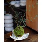 メルヘンの木としても知られている個性的な植物【ソフォラ・ミクロフィラの苔玉・信楽焼白三つ足器セット】
