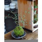 メルヘンの木としても知られている個性的な植物【ソフォラ・ミクロフィラの苔玉・三つ足灰器セット】