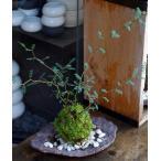メルヘンの木としても知られている個性的な植物【ソフォラ・ミクロフィラの苔玉・くらま岩器セット】