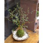 メルヘンの木としても知られている個性的な植物【ソフォラ・ミクロフィラの苔玉・焼締器セット】