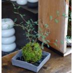 メルヘンの木としても知られている個性的な植物【ソフォラ・ミクロフィラの苔玉・焼締角器セット】