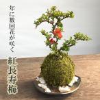 ショッピング梅 送料無料!創業10周年企画 紅長寿梅(べにちょうじゅばい)の苔玉・黒備前器セット