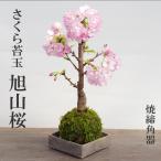 桜・・・そう聞くだけで心和む景色を貴方のもとへ【桜(旭山桜)の苔玉・焼き締角器セット】