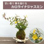 春に眩い黄色の花が楽しめる【カロライナジャスミンの苔玉・信楽焼白三つ足器セット】