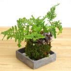 太い根茎、涼しげな葉が魅力のシダ植物【シノブの苔玉・焼締角器セット】