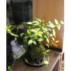 黄金と緑色の葉が美しい苔玉【テイカカズラの苔玉・器セット】