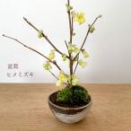 盆栽 姫ミズキ 姫水木 刷毛目丸鉢 黄色い花 鉢植え 紅葉を楽しむ 育て方のしおり付 お手入れ相談 電話 メールサポート