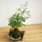 涼しげな葉が苔とよくあいます【シマトネリコの苔玉・焼締茶器セット】