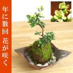 年に数回可憐な花が楽しめます【白長寿梅(シロチョウジュバイ)の苔玉・焼締茶器・敷石セット】