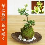 年に数回可憐な花が楽しめます【白長寿梅(シロチョウジュバイ)の苔玉・くらま岩器・敷石セット】