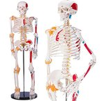 人体骨格模型 1/2人体モデル 筋肉起始停止色表示型 靭帯再現 脊髄神経根 解剖学 85cm スタンド付き