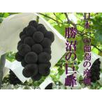 【送料無料!!】 山梨勝沼産巨峰1.2Kg! (種なし2〜3房) ぶどうづくり日本一の 表彰を受けた三澤農園より 朝採りでお届け 発送8月下旬以降