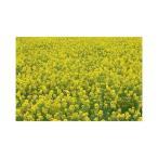 菜種 種子 (1kg) アブラナ 菜の花 なのはな ナタネ なたね 景観用に!