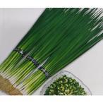 ネギ種 T-1スリム (20ml) [葉ねぎ 葱 種子 栽培用]