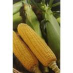 トウモロコシ種 キャンベラ86 (2000粒) [栽培用 種子 とうもろこし 玉蜀黍 スイートコーン 生産者向け]