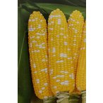 トウモロコシ種 F1 ミルフィーユ87(2000粒) [栽培用 種子 とうもろこし 玉蜀黍 スイートコーン 生産者向け]