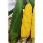トウモロコシ種 F1 プレミアムスイート(2000粒) [栽培用 種子 とうもろこし 玉蜀黍 スイートコーン 生産者向け]